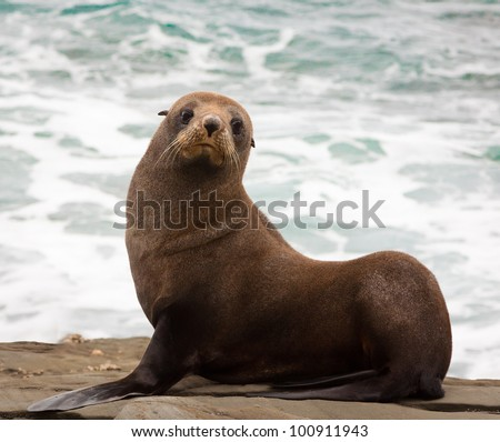 A very cute young New Zealand fur seal (Arctocephalus forsteri) - stock photo