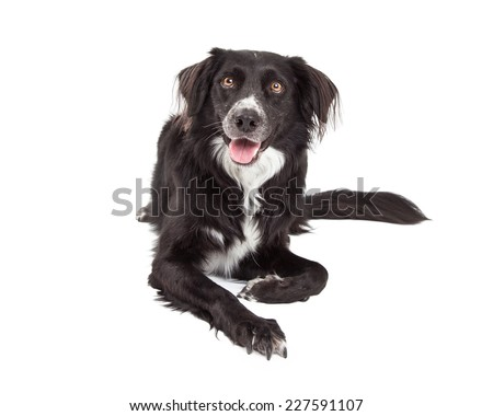 A very happy Border Collie Mix Breed Dog laying while looking forward.  - stock photo