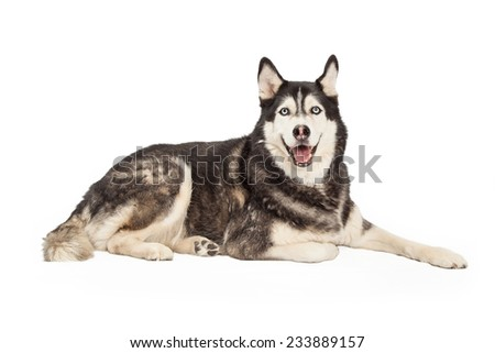 A very happy looking Siberian Husky Dog laying with full side of body visible. Dog is looking into the camera with an open mouth.  - stock photo