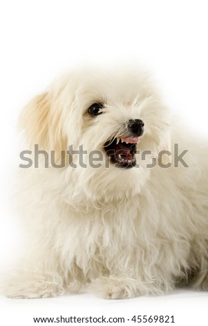 a very intimidating bichon maltese showing it's teeth - stock photo