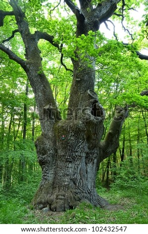 a very large oak tree - stock photo