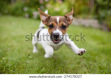 A very little puppy is running happily with floppy ears trough a garden with green grass. It almost looks like he can fly. He smiles and shows his tiny canine teeth.  - stock photo