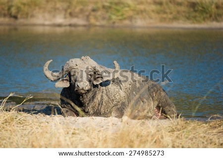 A very muddy buffalo bull resting on the banks of a waterhole - stock photo