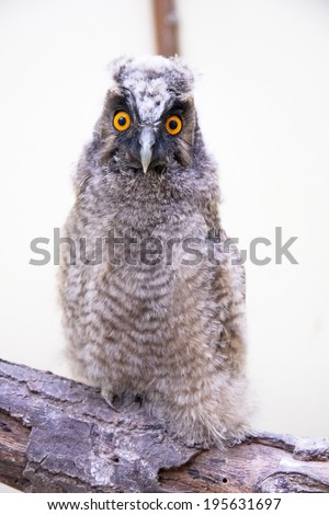 A very young long-eared owl (Asio otus) chick - stock photo