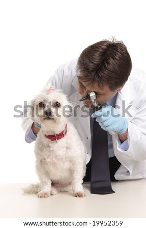 A veterinarian inspects a pet dogs ears during a checkup - stock photo