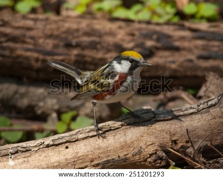 A vibrant male Chestnut-sided Warbler perches momentarily on a small log as it approaches a clear water spring for a drink in a Wisconsin woodland. - stock photo