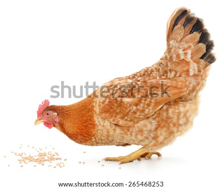 A vibrant red hen is pecking away at grain on the white ground - stock photo