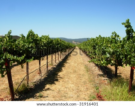 A View Down a Row at a Vineyard - stock photo