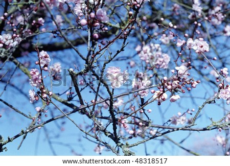 A view of spring cherry blossoms. - stock photo