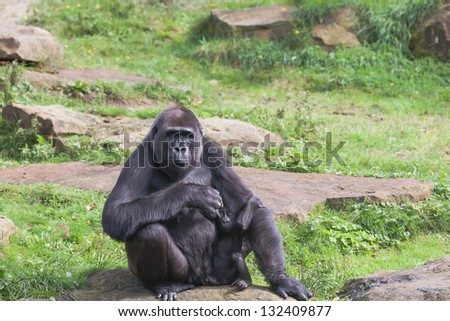 A vigilant mother gorilla with baby gorilla who lurks under mothers arm - stock photo