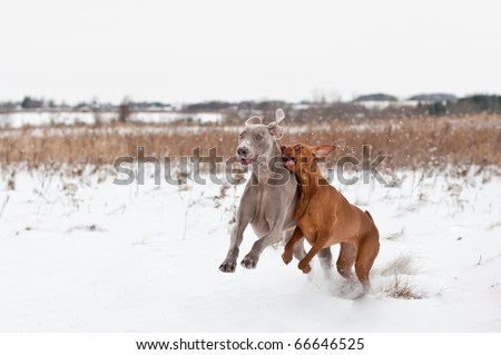 A Vizsla and a Weimaraner Dog play together in a snowy field in winter. - stock photo