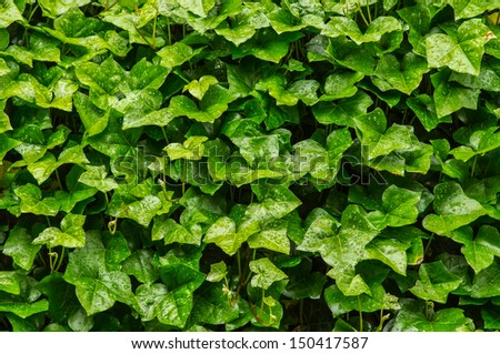 A wall of wet leafy ivy vines as a background composition - stock photo
