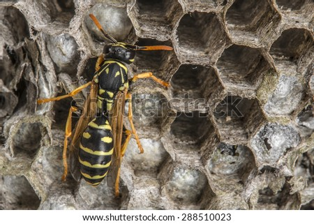 a wasp nest (Vespula vulgaris) - stock photo