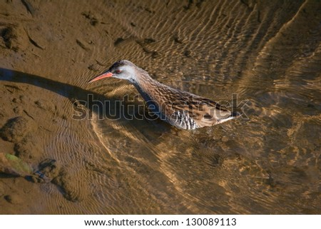 A Water Rail crossing Sao Pedro de Arcos lagoon in the Protected Area of Sao Pedro de Arcos and Bertiandos Lagoon in Ponte de Lima (Portugal). - stock photo