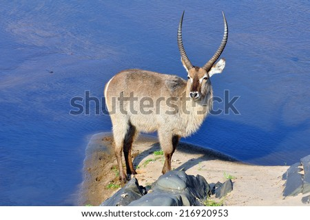 A Waterbuck antelope in a river in the Kruger National Park, South Africa - stock photo