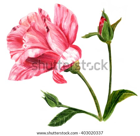 A watercolor drawing of a white and pink rose with an open flower and two buds on a single stem, hand painted on white in the style of vintage botanical art - stock photo