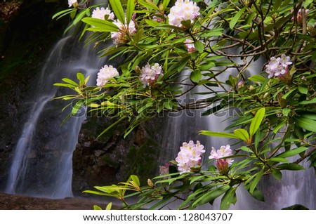A waterfall is framed with rhododendron in bloom. - stock photo