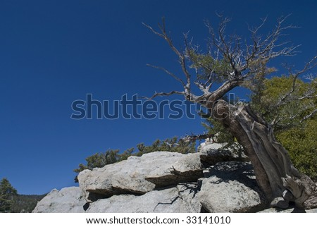 A weathered tree on a mountain top in San Jacinto State park in California. - stock photo
