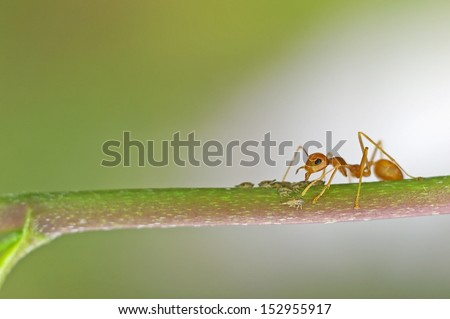 a weaver ant is taking care the little aphids on the tree branch - stock photo