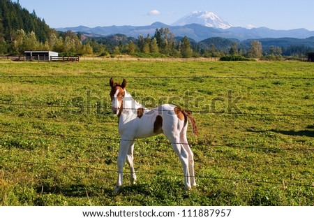 A week-old paint colt enjoys the mild summer weather in a field near Mount Rainier, Washington. - stock photo