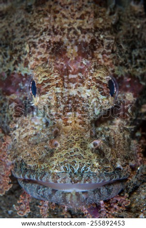 A well-camouflaged scorpionfish lives on a coral reef in Indonesia. Scorpionfish are classic ambush predators and wait for unaware prey to swim in front of their mouths. - stock photo