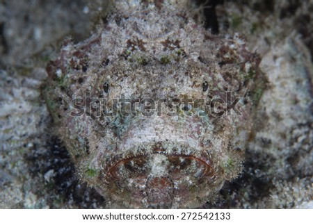 A well-camouflaged scorpionfish (Scorpaenopsis sp.) lies on a coral reef in Indonesia. This venomous species is a common predator of small reef creatures. - stock photo
