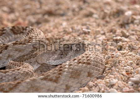 A well camouflaged western diamondback rattlesnake sits in ambush position in the sand. - stock photo
