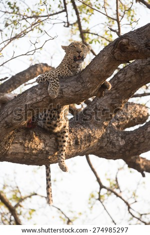 A well-fed leopard resting up a tree - stock photo