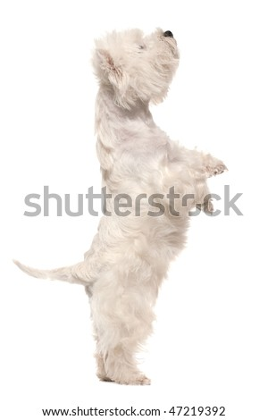 A west highland white terrier is standing on hind legs ; isolated on the white background - stock photo
