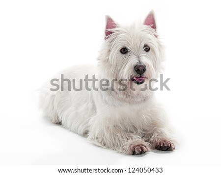 A West Highland White Terrior looking at the camera - stock photo
