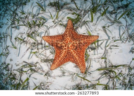 A West Indian starfish (Oreaster reticulatus) is found on a shallow seagrass meadow near Turneffe Atoll in Belize. This echinoderm is an omnivore and feeds on algae, sponges, and invertebrates. - stock photo
