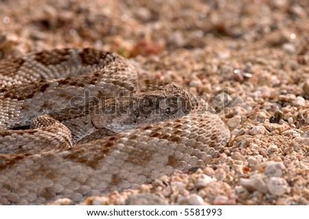 A western diamondback rattlesnake sits quietly coiled waiting for a passing meal. - stock photo