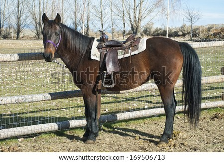 A western horse stands saddled and waiting for its young rider. - stock photo