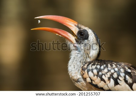 A Western Red-Billed Hornbill (Tockus erythrorhynchus) tossing up some rice to eat - stock photo