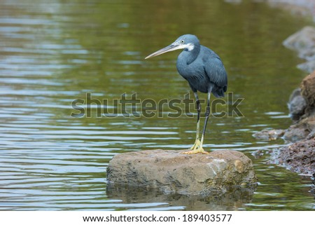 A Western Reef Heron (Egretta gularis) standing on a rock surrounded by water - stock photo
