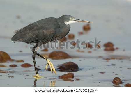 A Western Reef Heron (Egretta gularis) walking on wet sand at the beach - stock photo