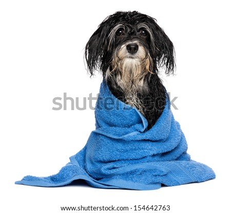 A wet havanese puppy dog after bath is dressed in a blue towel, isolated on white background - stock photo