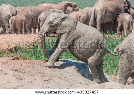 A wet, mud covered African Elephant calf, Loxodonta africana, trying to climb out of a muddy dam - stock photo