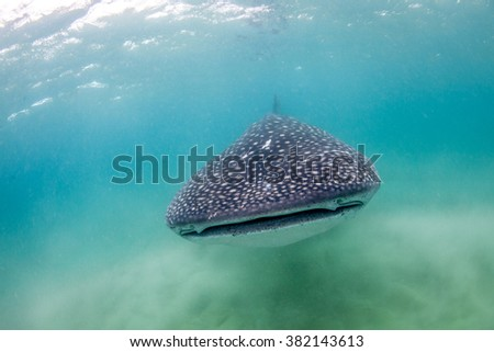 A whale shark peacefully approaching - stock photo