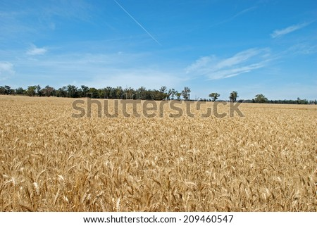 a wheat crop with jet flying over - stock photo