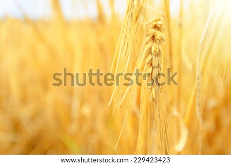 A wheat field, fresh crop of wheat - stock photo