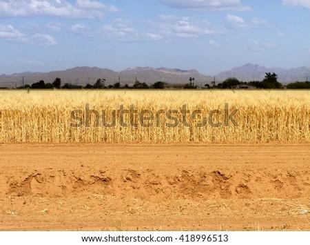 A wheat field in rural Arizona. - stock photo
