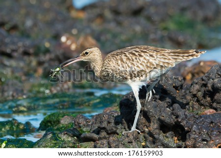 A Whimbrel (Numenius Phaeopus) carrying a small crab - stock photo