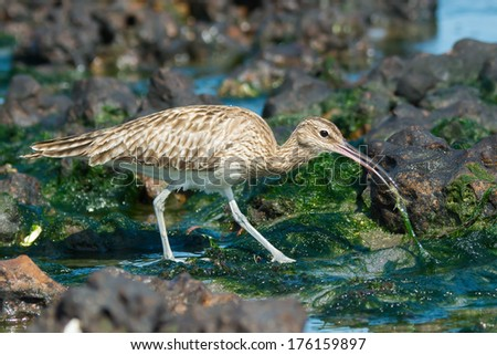 A Whimbrel (Numenius Phaeopus) pulling a small white crab from out of the seaweed - stock photo