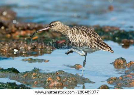 A Whimbrel (Numenius Phaeopus) with one foot in the air scratching - stock photo
