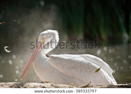 A white american pelican bathing in dust - stock photo