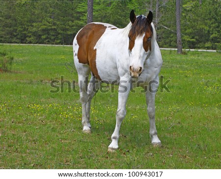 A white and brown Equine coated horse with a blue eye in the field with room for your text. - stock photo