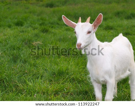 A white baby goat against grass - stock photo