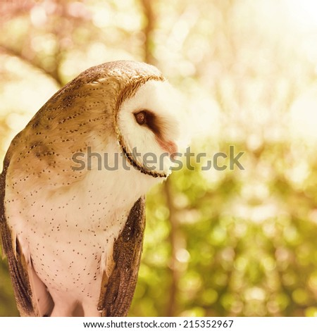 A white barn owl is in the woods looking at a predator or prey. There is bright sunlight in the distance for a nature or wildlife concept. - stock photo