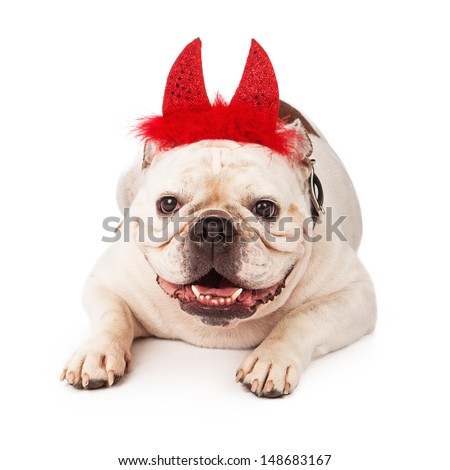 A white Bulldog laying against a white backdrop wearing red devil horns with feathers - stock photo